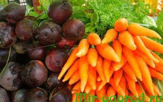 Когда выкапывать морковь и свеклу — сроки и хранение