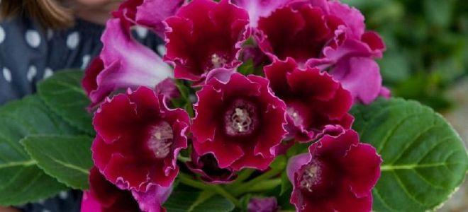 Что делать дальше, если глоксиния отцвела, уход после цветения и почему растение может не цвести