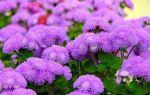 Агератум : выращиваем в домашних условиях, полив, пересадка и особенности почвы