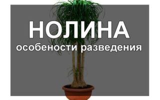 Нолина (бокарнея) — правила ухода в домашних условиях