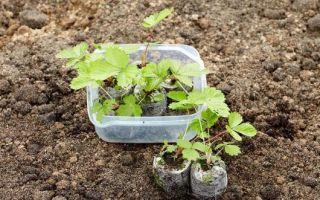 Выращивание клубники из семян своими руками