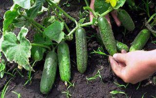 Технология выращивания огурцов в сложных климатических условиях — особенности, посадка и уход
