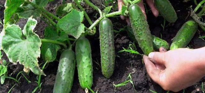 Технология выращивания огурцов в сложных климатических условиях