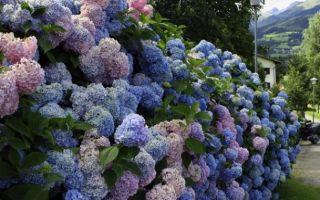 Как сделать живую изгородь из ивы, сирени или спиреи