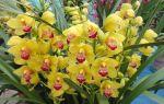 Орхидея онцидиум — как правильно ухаживать дома