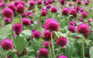 Гомфрена : выращиваем в домашних условиях, полив, пересадка и особенности почвы