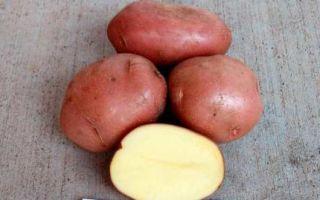 Картофель сорта беллароза: описание с фото, характеристикой и отзывами