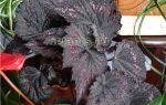 Бегония декоративно-лиственная – уход и размножение в домашних условиях