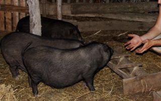 Чем кормить свиней: правильный рацион и количество кормлений, чтобы набирали вес на откорме, что давать можно и нельзя