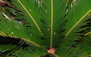 Цикас, или саговник: все нюансы ухода за цветком в домашних условиях