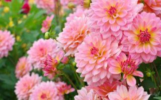 Георгины : выращиваем в домашних условиях, полив, пересадка и особенности почвы