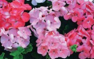 Почему не цветет герань, обрезка для пышного цветения, чем подкормить растение и особенности ухода