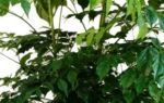Радермахера: все нюансы ухода за растением в домашних условиях + фото и видео