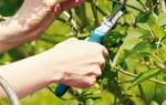 Обрезка сирени весной – оптимальные сроки и рекомендации садоводов + видео