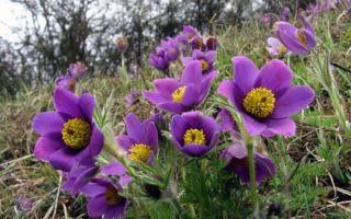 Прострел : выращиваем в домашних условиях, полив, пересадка и особенности почвы