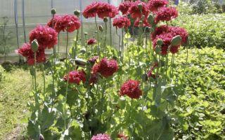 Мак : выращиваем в домашних условиях, полив, пересадка и особенности почвы