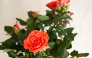 Выращивание роз в домашних условиях — разновидности, посадка и уход за растением