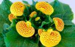 Кальцеолярия : выращиваем в домашних условиях, полив, пересадка и особенности почвы