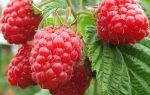Сорт малины «полана» — описание и характеристика сорта, особенности посадки и ухода