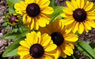 Рудбекия : выращиваем в домашних условиях, полив, пересадка и особенности почвы