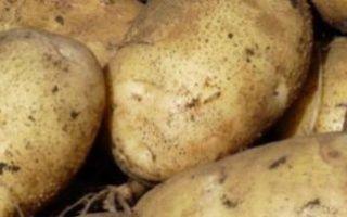 Сорта картофеля для северо-западного региона, в том числе для ленинградской области