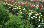 Выращивание роз в саду и на продажу — советы экспертов