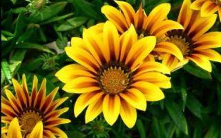 Гацания : выращиваем в домашних условиях, полив, пересадка и особенности почвы