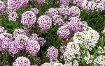 Алиссум : выращиваем в домашних условиях, полив, пересадка и особенности почвы