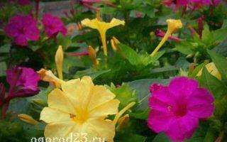Мирабилис : выращиваем в домашних условиях, полив, пересадка и особенности почвы