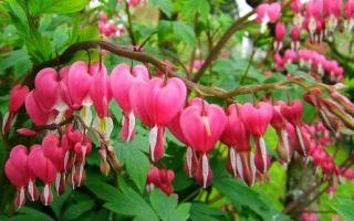 Дицентра — цветок «разбитое сердце» : выращиваем в домашних условиях, полив, пересадка и особенности почвы