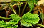 Вредители и болезни садовой земляники