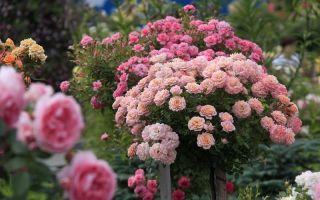 Укрытие роз на зиму — способы для разных сортов