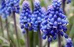 Мускари : выращиваем в домашних условиях, полив, пересадка и особенности почвы