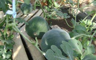 Выращивание арбузов — особенности посадки и ухода, выбор сорта
