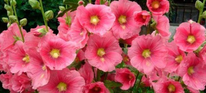 Шток-роза или мальва : выращиваем в домашних условиях, полив, пересадка и особенности почвы