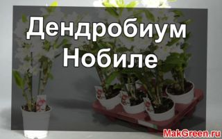 Дендробиум Нобиле — выращивание и уход