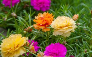 Портулак крупноцветковый : выращиваем в домашних условиях, полив, пересадка и особенности почвы