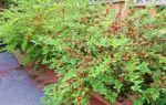 Войлочная вишня — описание, способы размножения, секреты выращивания и ухода