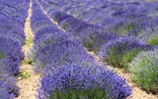 Лаванда : выращиваем в домашних условиях, полив, пересадка и особенности почвы