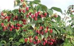 Малина шапка мономаха — особенности сорта и выращивание