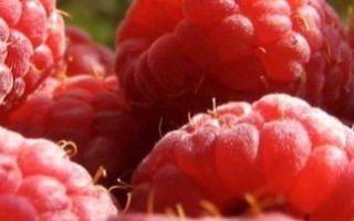 Малина патриция — плюсы и минусы сорта по отзывам садоводов