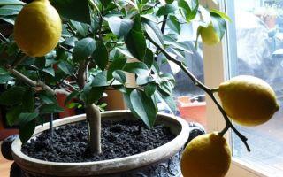 Лимон — уход в домашних условиях принесёт невероятные результаты