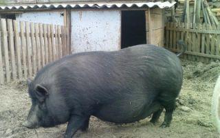 Породы свиней — мангалы, вислобрюхая, ландрас и др.
