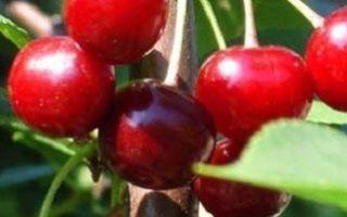 Какую вишню посадить — сорта для московской области, поволжья, урала и др.