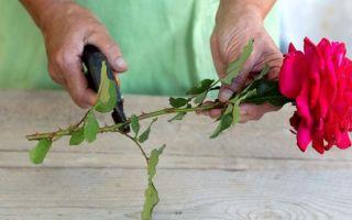 Как вырастить розу из букета из черенка — в картошке и другие способы