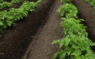 Посадка картофеля в гребни, отличия от выращивания на грядах, особенности выращивания гребневым способом