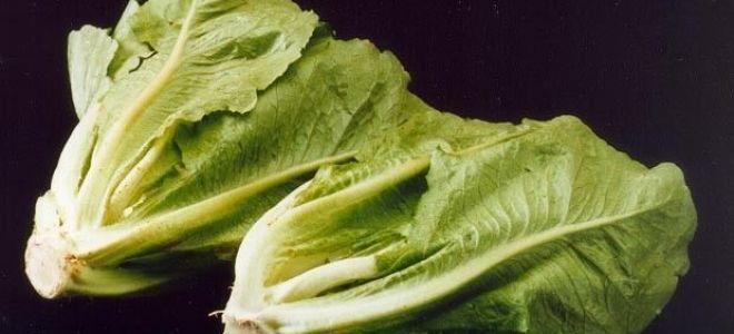 Салат латук – полезные свойства листовой зелени, выращивание и уход