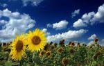 Технология выращивания и возделывания подсолнечника