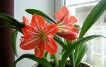 Комнатная или домашняя лилия: уход и выращивание (практические советы)