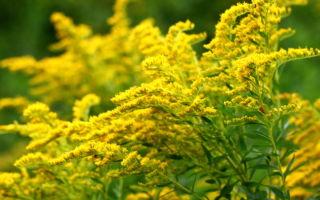 Золотарник : выращиваем в домашних условиях, полив, пересадка и особенности почвы